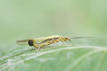 Die unerwartet spannende Ökologie der Steinfliegen (Plecoptera) in Wort, Bild und Video