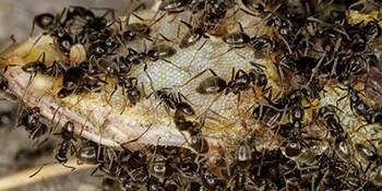 Ist die Ameise Tapinoma magnum in der Schweiz invasiv oder nicht?