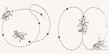 """Karl von Frisch: der """"Hacker"""" des Kommunikationssystems der Bienen"""